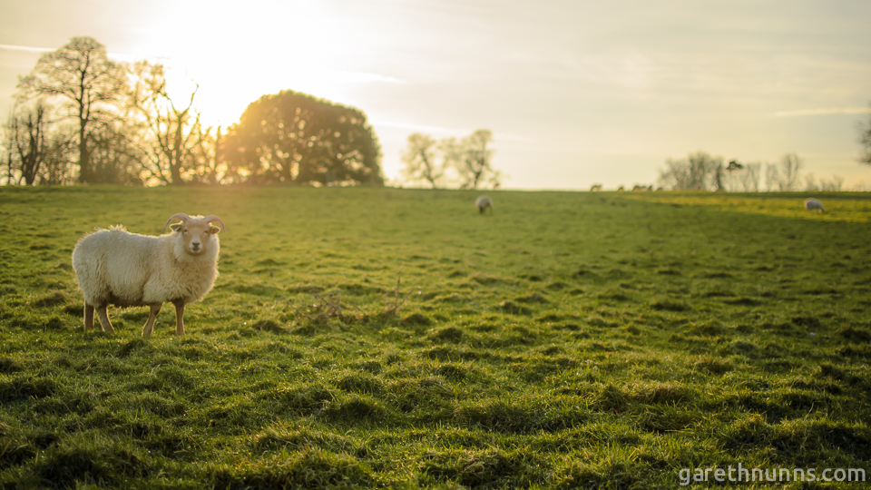 Sheep in the sunset at Wimpole Hall and Farm, Cambridge